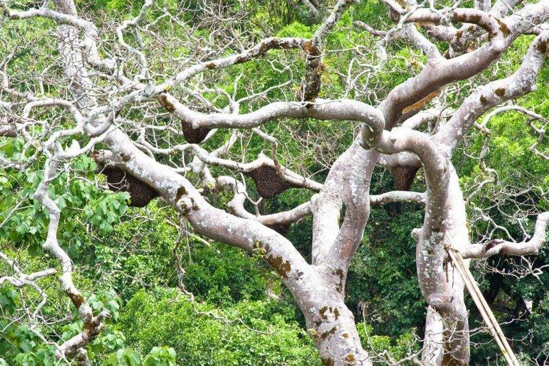 Manfaat Madu Hutan